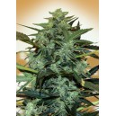 Auto Cheese Berry Feminizada